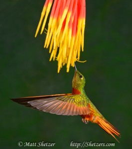 Chessnut-bellied Hummingbird