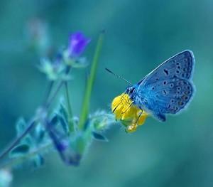 Schmetterling blau - blauer hintergrund